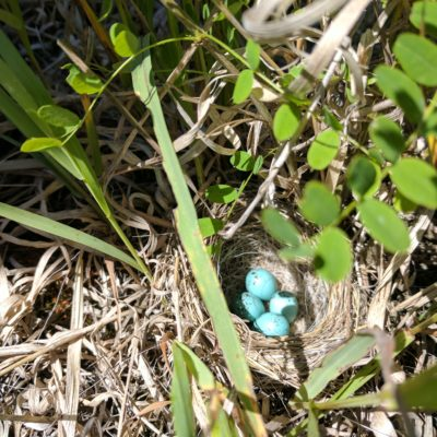 Blue eggs in ground nest