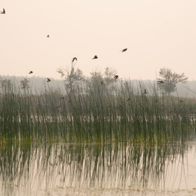 Birds in flight over wetlands with rushes and cattails
