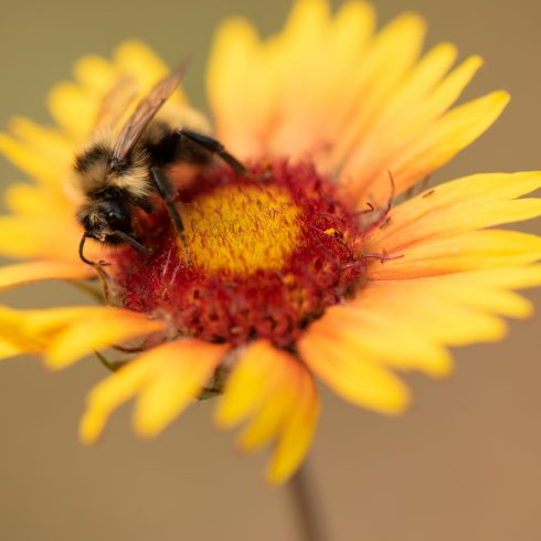 Yellow and Orange Cone Flower with Bee collecting pollen