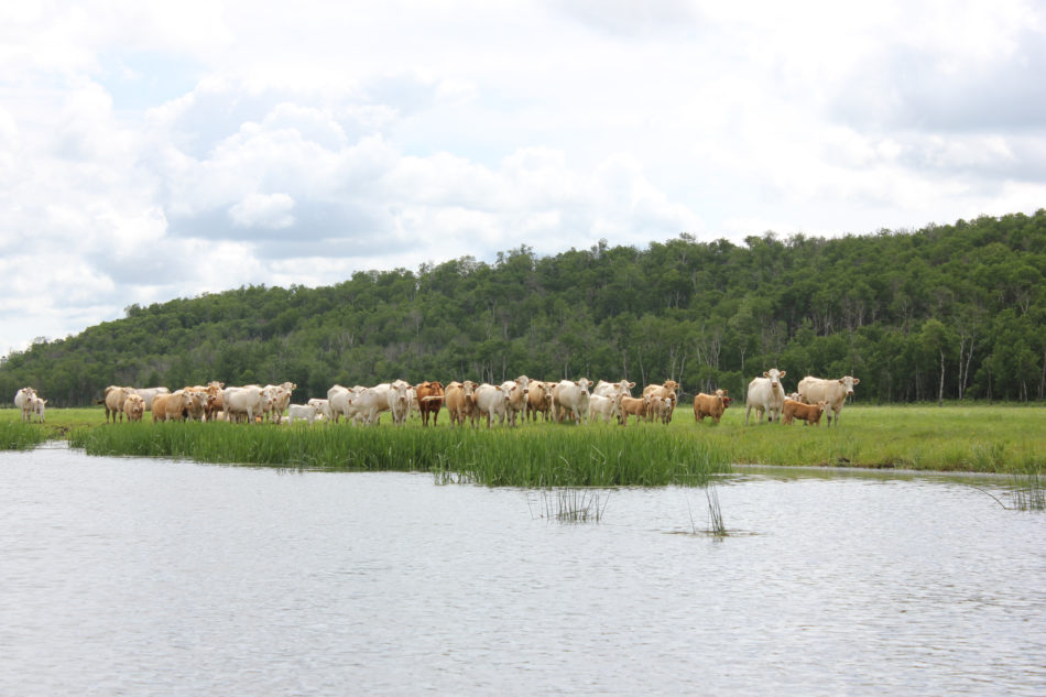 Cattle grazing near a shore